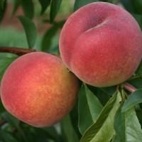 Продам персики оптом с сада