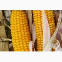Насіння кукурудзи Вакула (ФАО 250)