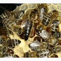 Продам бджоломатки плідні карпатки, вучковий тип
