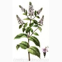 Продам деленки Мяты и много других растений (опт от 1000 грн)