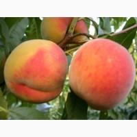 Продам персики с собственного сада