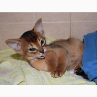 Абиссинские котята с питомника