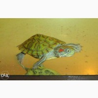 ХИТ ПРОДАЖ! Красноухая черепашка - чудо природы с Надежной доставкой