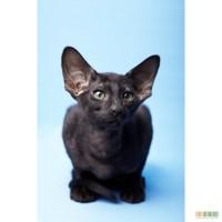 Магически - черные Ориентальные котята . Продам Киев.