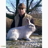 Кролики племенные чистопородные