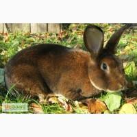 Продам кролики кастор-рекс