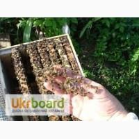 Продам пчелопакеты украинской степной породы