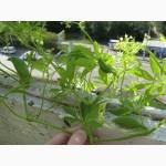 Циклантера съедобная, Cyclanthera pedata