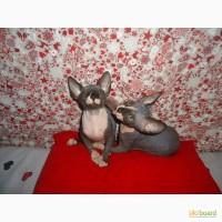 Продам котят конадского сфинкса