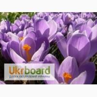 Цветы крокуса в горшочках к 8 марта