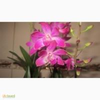 Продам Dendrobium Berry Oda