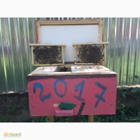 Плідні Матки Карпатки 2019 року (Пчеломатки, Бджоломатки, Бджолині матки)