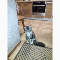 Продам котенка породы Maine Coon