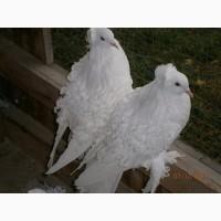 Продам голуби