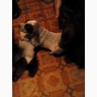 Продам щенята курцхаара від робочої собаки