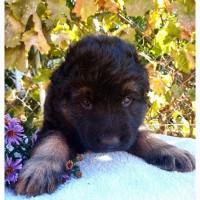 Продам чистокровных щенков немецкой овчарки