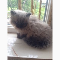 Сіамські кошенята, 1, 5 міс хлопчики