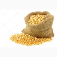 Закупаем кукурузу, большим оптом
