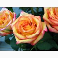 Роза :купить саженцы розы