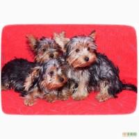 Продам щенков йоркширского терьера: мальчик и девочка