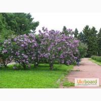 Продам саженцы сирени лиловой, ивы мацунды, уксусного дерева