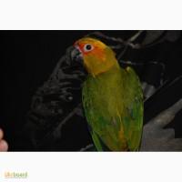 Папуга аратінга продам пташенят