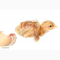 Кормовые суточные петушки, цыплята замороженные