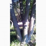 Орех дерево