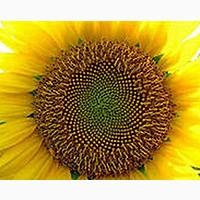 Семена Подсолнечника Блейзер « Nussed»