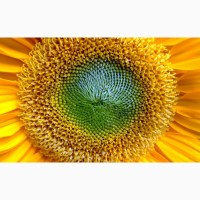 НС Имисан насіння соняшника під євро-лайтнінг
