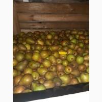 Продам грушу Стрийская оптом