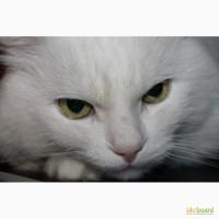 Продам белых аногрских котят
