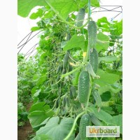 Продам семена Огурец Кибрия