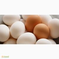 Куплю яйцо С-1 и С-0
