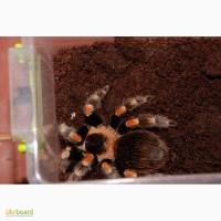 Паук птицеед Брахипельма Смита (лат. Brachypelma smithi) 1-8 см
