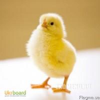 Цыплята бройлера КОББ 500, отличный рост