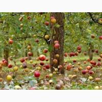 Саженцы яблони 2х лет