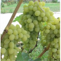 Аренда виноградника