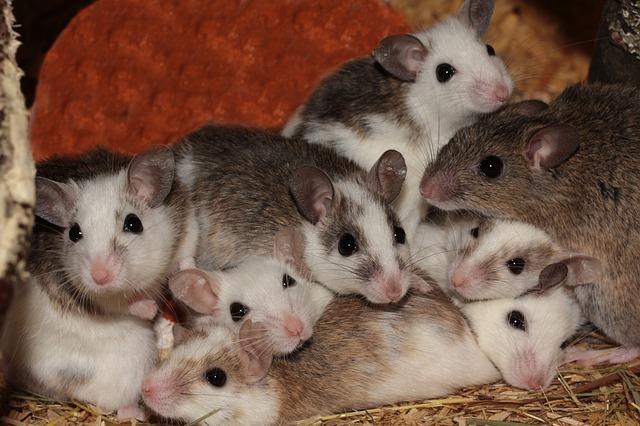 Кормовые крысята - Мастомис или Натальная крыса (Mastomys natalensis)