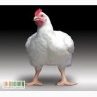 Цыплята бройлера КОББ 500