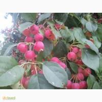 Райские яблочки оптом