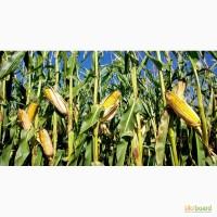 Насіння кукурудзи від виробника