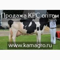 Высокопродуктивный скот молочного направления оптом по РФ и СНГ