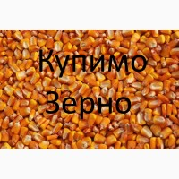 Постійно закуповуємо зерно кукурудзи по Рівненській області
