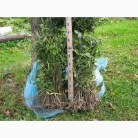 Бирючина для изгороди от 50см