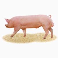 Племінні свині, хряки