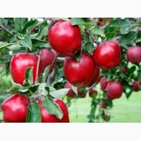 Продам оптом саженцы яблонь в Киеве