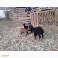 Продам Карликовую козу