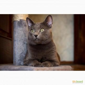 Породистый русский голубой кот ищет невесту для вязки