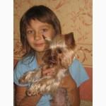 Продам щенков Йоркширского терьер, прекрасные малыши